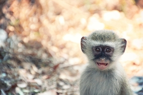 Cheeky wild African Vervet baby monkey