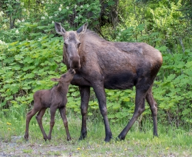 Cow moose and its calf
